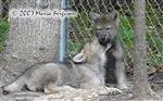 Wolf Pup gives a bite picture Picture