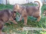 Wolf Pups playing picture Picture