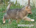 Female Wolf Pup running Picture
