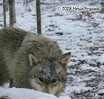 Woes in Snow, Wolf picture Picture