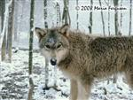Yearling Wolf pup in Snow picture Picture