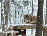 Darling female Wolf in snow picture Picture