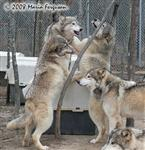 Family affair, Wolf picture Picture
