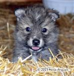 Female Wolf pup in straw picture Picture
