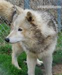 Wolf pictures, little beauty Picture