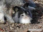 Grouchy Timber Wolf Picture
