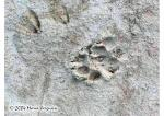 Wolf and Deer Tracks Picture