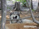 Wolf lying Low picture Picture