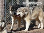 Wolf Pair Picture Picture