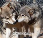 A Wolf Couple picture Picture