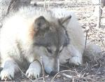 Wolf thinking picture Picture