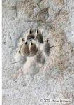 Wolf Tracks Picture