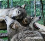 Wolf pictures, love fest Picture