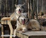 In Sync Wolf Yawn Picture