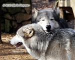 Wolf claiming a female Picture