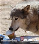 Ice Cream Nose, Wolf picture Picture