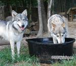 wolf pictures, Alpha's turn Picture