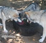 wolf pictures, mama's turn Picture