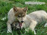 Wolf Pup wrestling picture Picture
