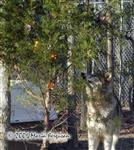 Wolf looking for treats photo Picture