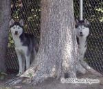 Siberian Husky Bookends Picture