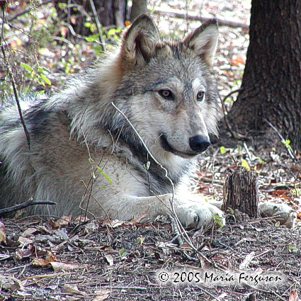 Handsome Wolf Picture