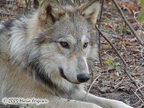 Wolf thinking picture