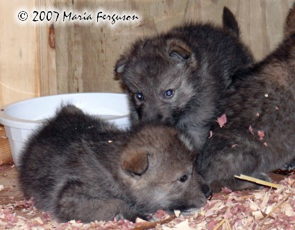 Wolf pups around the water cooler picture