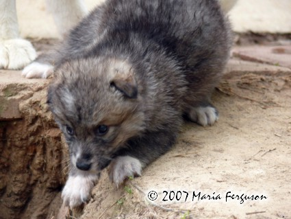 Wolf Pups check out the den picture