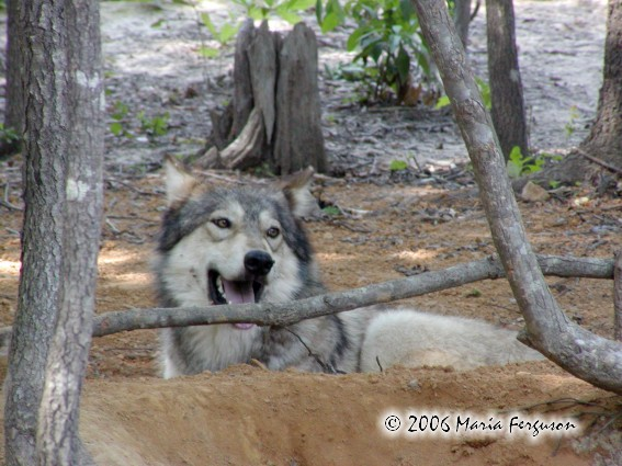 Wolf lying Low picture