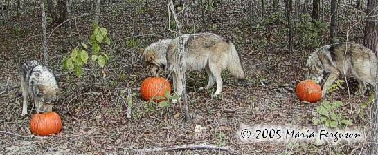 Our Wolves first Halloween