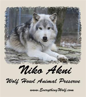 Our big and beautiful Wolf boy, Niko Akni