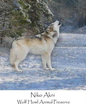 Handsome Wolf howling