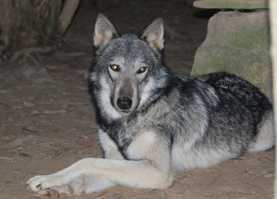 Our darling Wolf Nita on her own Magnet