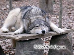 Let Sleeping Wolves lie