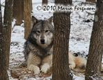 View details for this Wolf print 8x10