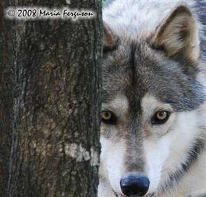Shy Wolf, our Alpha Male
