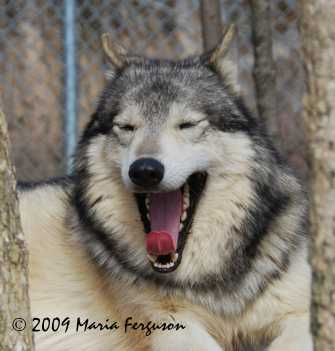 Wolf Ethology A Pictorial Study On Wolf Behaviour By