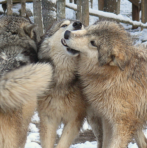 gray wolves picture