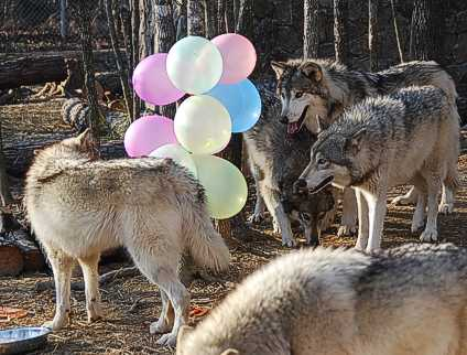 Birthday Month At Wolf Howl Animal Preserve By Maria