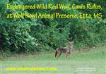 Red-Wolf-picture-2.jpg