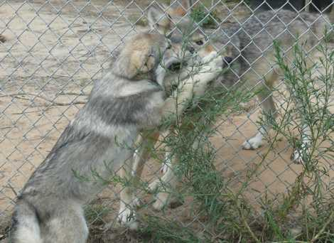 wolf pups visits adult Wolf picture