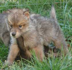 male wolf pup picture