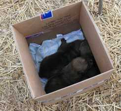 wolf pups pulled from den photo