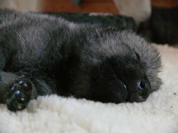 female wolf pup 15 days old