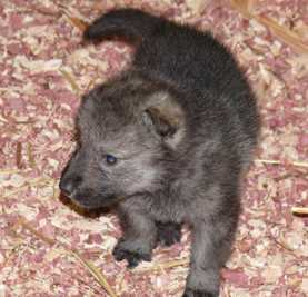 female wolf pup photo, 16 days old