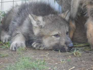Wolf pup at 32 days old