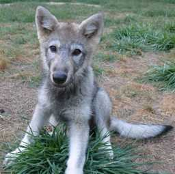 wolf pup picture