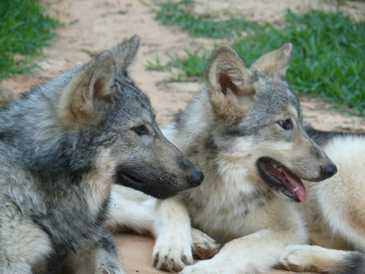 Wolf pups 3 months old picture