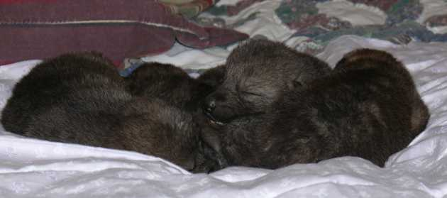 wolf pup pack picture